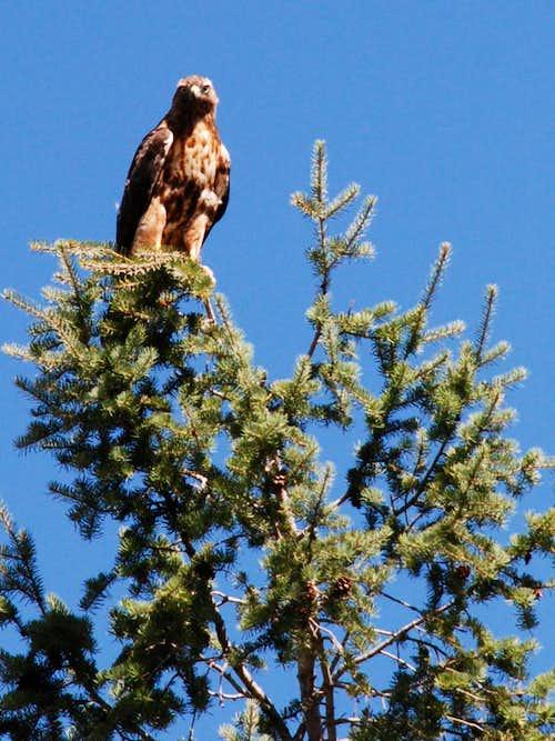Horsethief Creek Hawk