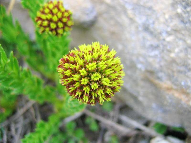 Karakoram Flower