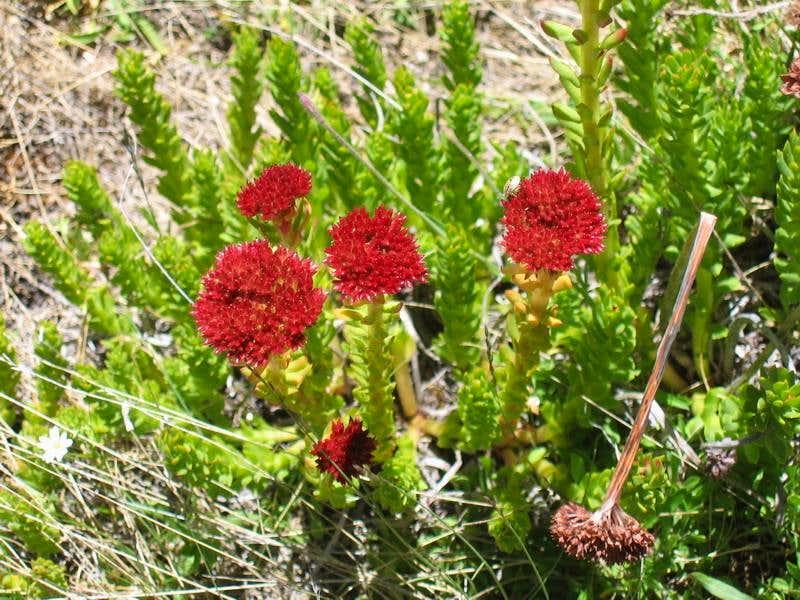 Karakoram Wild Flowers