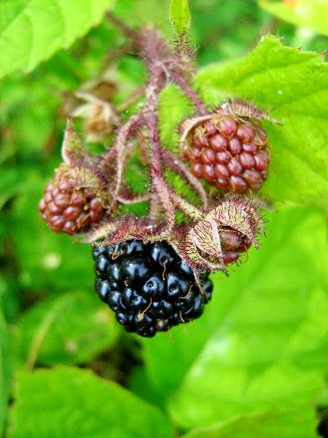 Fruit of Wild Blackberry