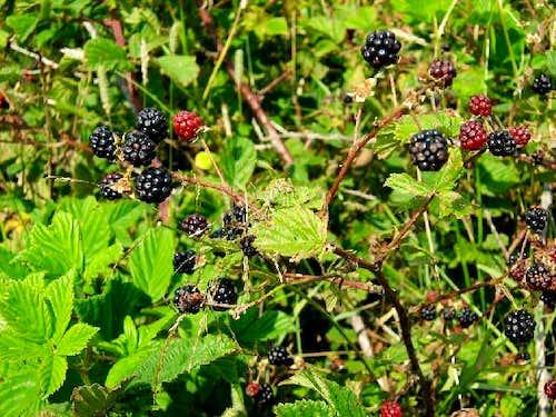 Wild Blackberry Shrub