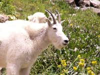 Mountain Goats in Chicago Basin