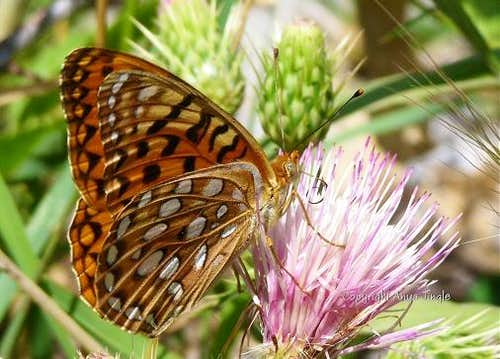 Mount Charleston Fritillary