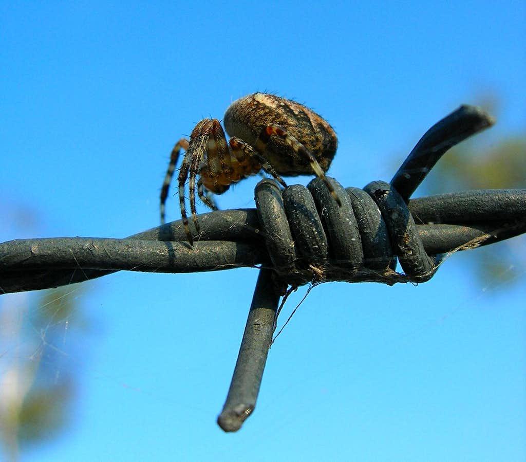 European Gardenspider <i><b>Araneus diadematus</i></b>