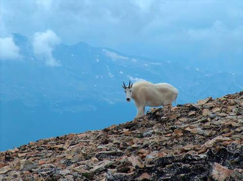 Goat on Mt Sherman