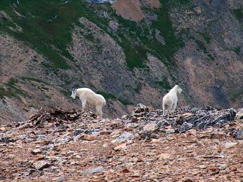 More Mountain Goats