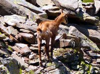 A chamois in the Gran Paradiso National Park