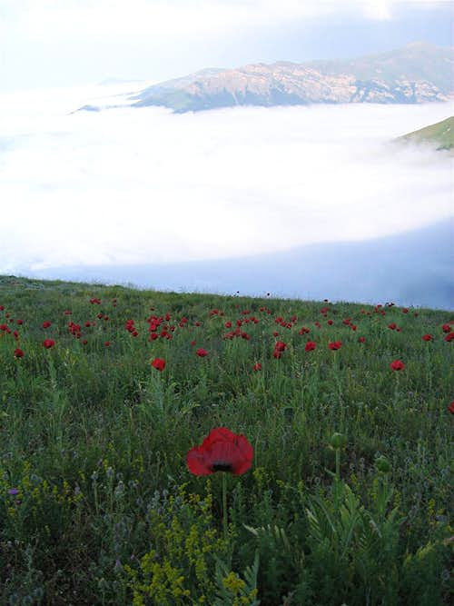 Poppies above the clouds