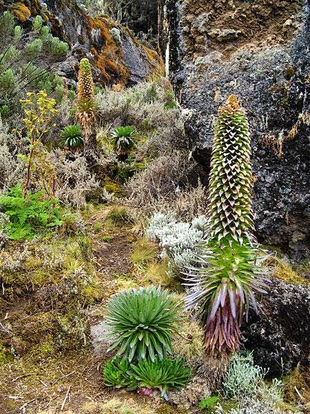 Lobelias on Kili