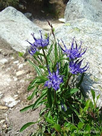 <b>Round-headed rampion</b> - <i>Phyteuma orbiculare</i>