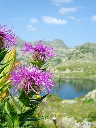 <b>Singleflower Knapweed</b> - <i>Centaurea nervosa</i>