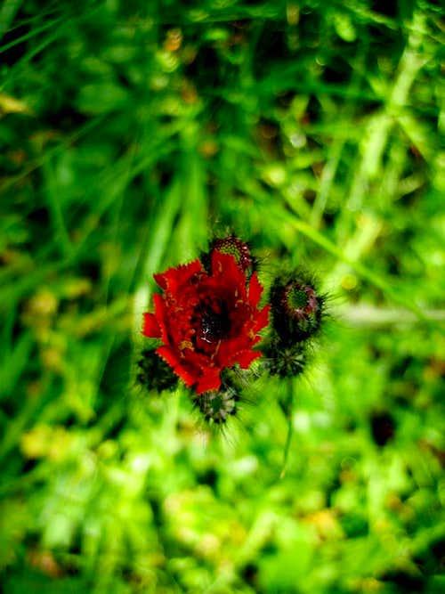 alpine wildflower