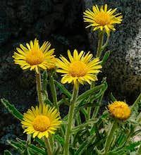 Alpine Gold Sunflower