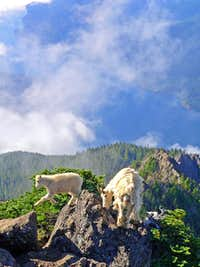 Mountain Goat and her kid