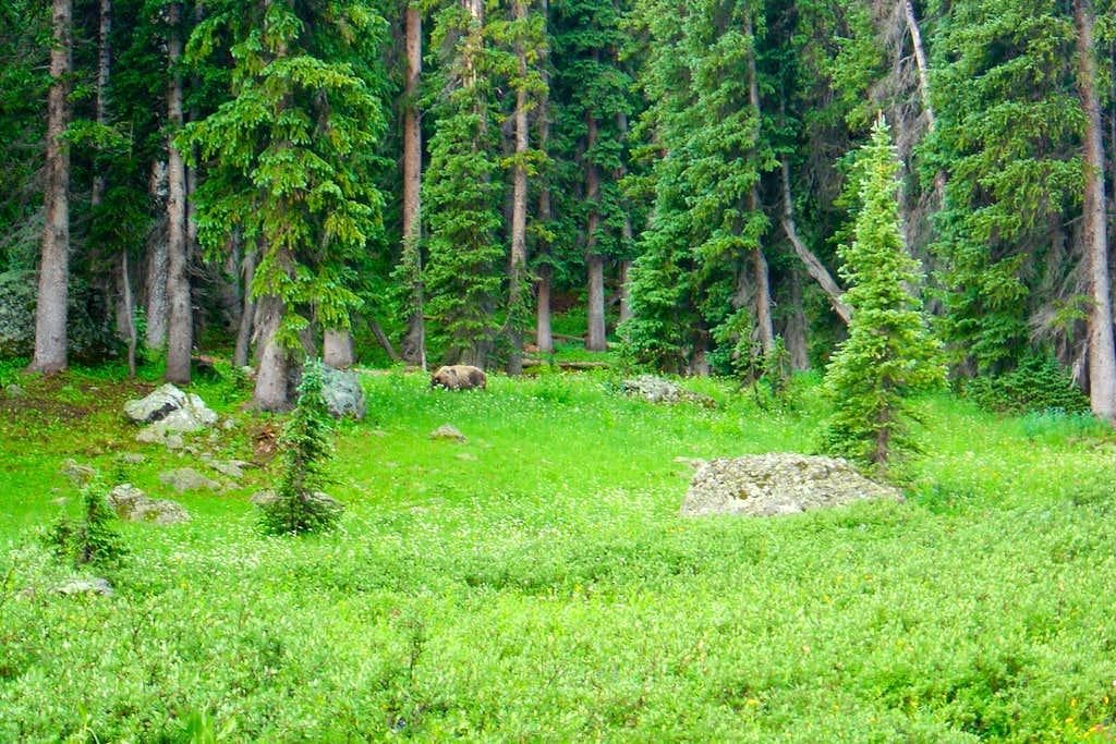 Bear near Treasure Creek