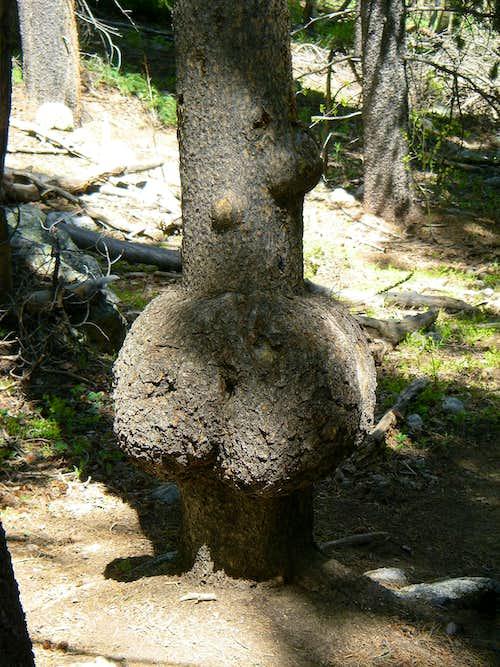 Butt Tree