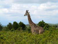 Meru giraffe