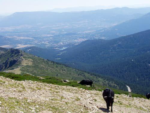 Cattle at Dos Castillas