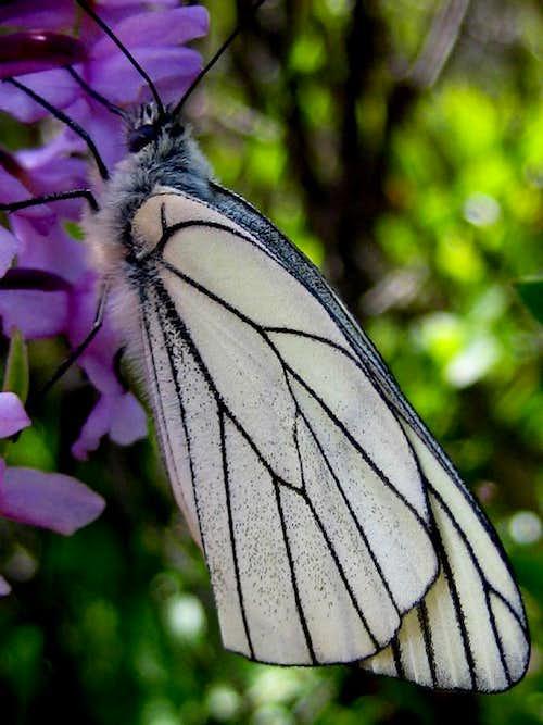 a butterfly  from Col de Balme