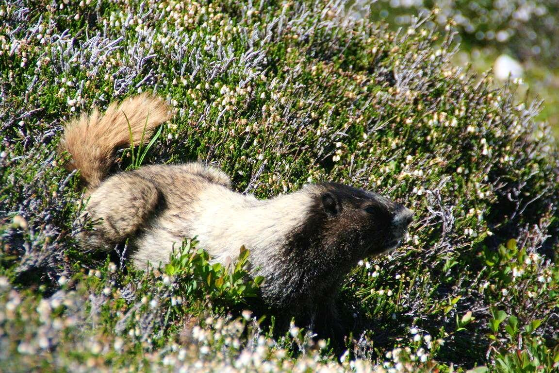 Sahale Peak: marvelous views, wildflowers and marmots