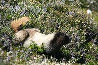 Sahale Peak: Marmot on Sahale Arm