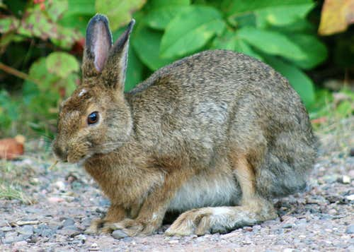 Brown Snowshoe Hare