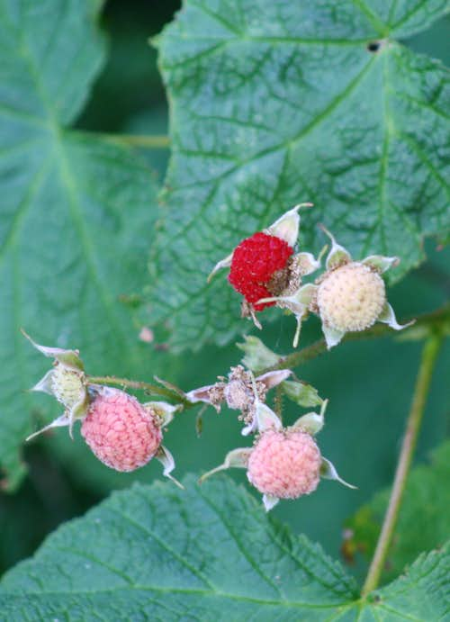 Thimbleberries, Isle Royale