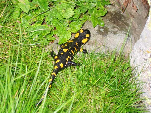 Salamander near Laguna Mayor