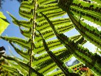 Lightplay of the Ferns