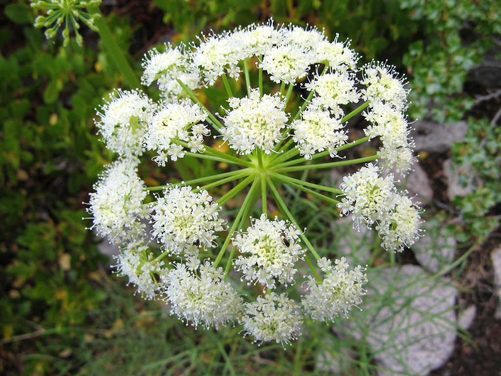 Angelica lineariloba, Poison Angelica