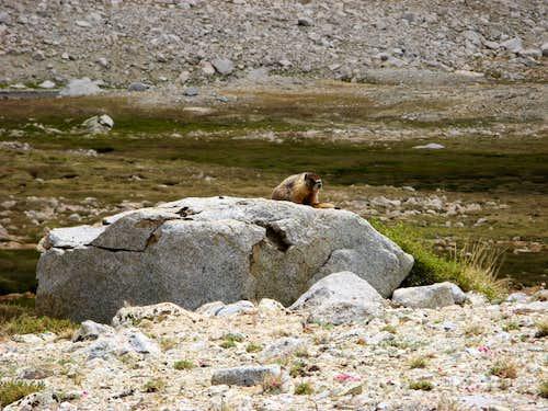 A very cute Marmot on the Tyndall Plateau