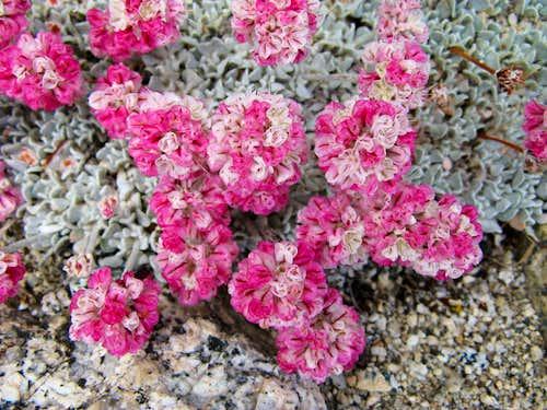 Eriogonum ovalifolium