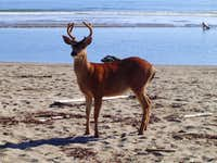 Young Buck by the Waves