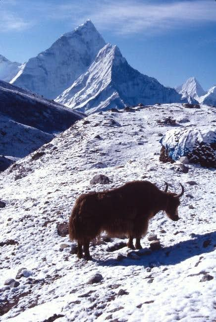 Ama Dablam with a Yak