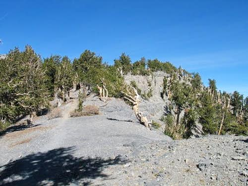 The Bristlecone forest found...