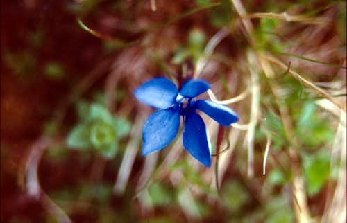A flower on the lower slopes...