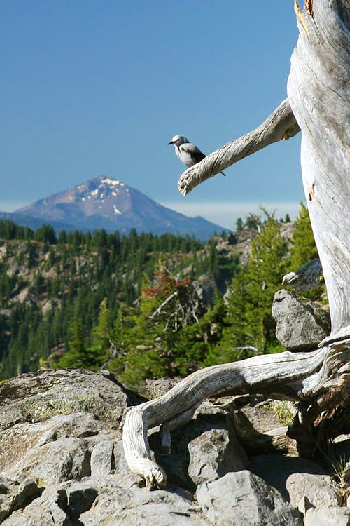 Clark\'s Nutcracker at Crater Lake