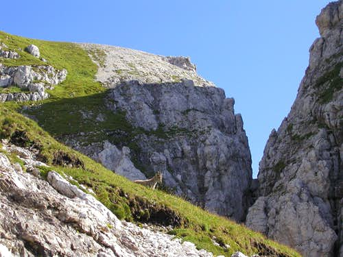 An alpine chamois near the ridge.