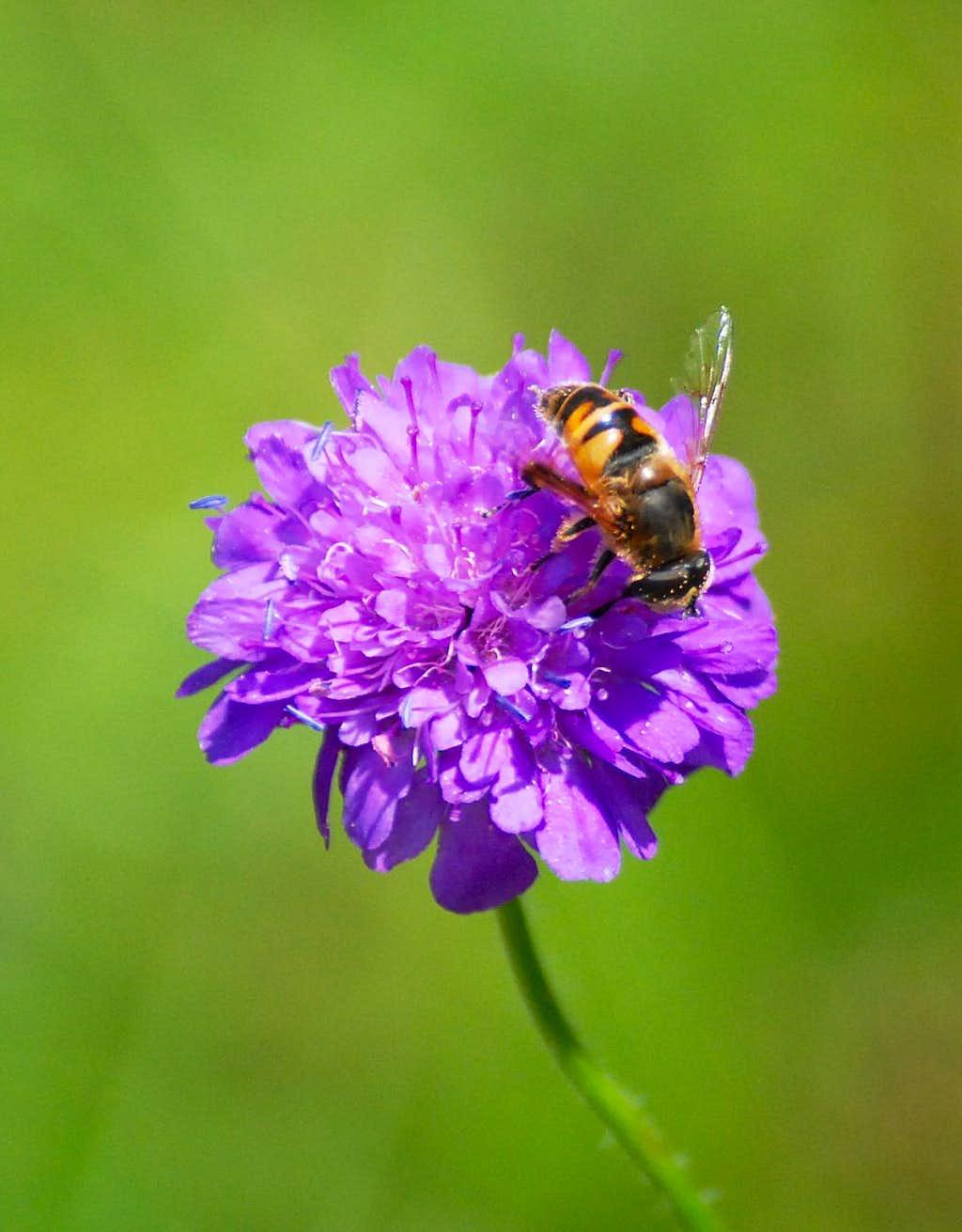 Bee on an Aravis flower
