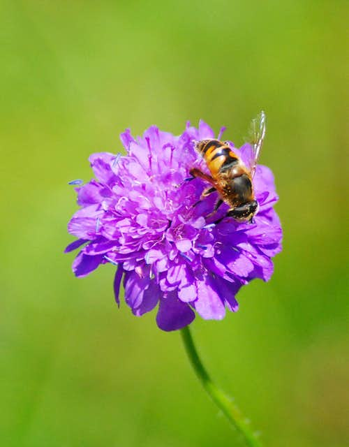Bee on an Aravis flower