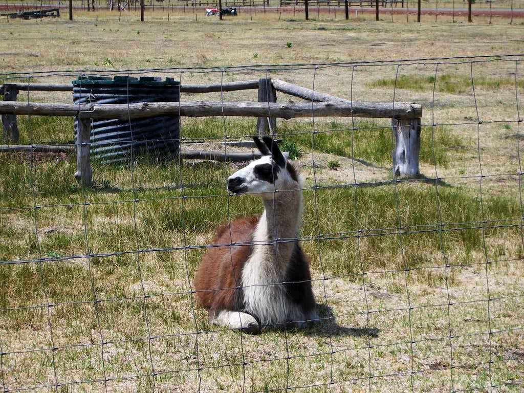 Williams, Arizona Llama