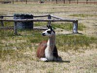 Williams, Arizona Llama