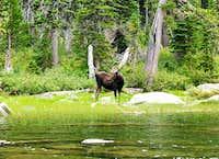 Moose at Pyramid Lake