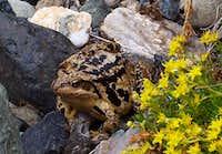 Queyras Toad