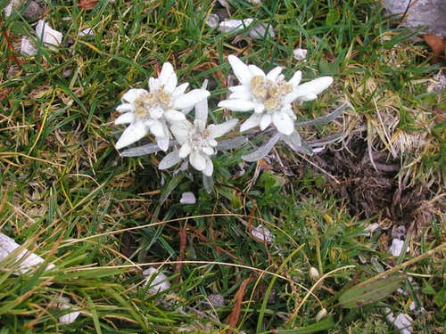 Very rare flower called edelweiss.