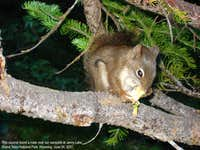 Grand Teton Squirrel