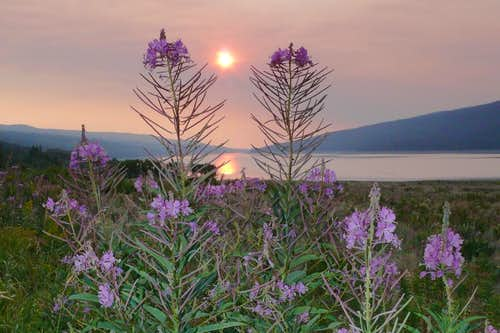 fireweed, sunrise