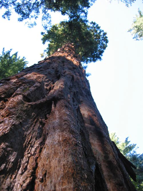 The Pershing tree