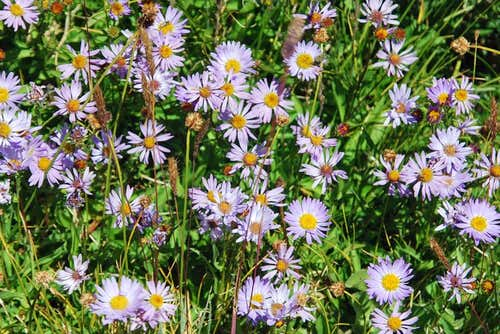 Brewer\'s Fleabane