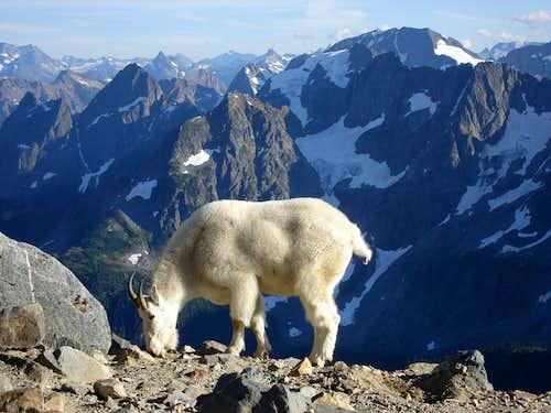 Mountain Goat on the Sahale Arm